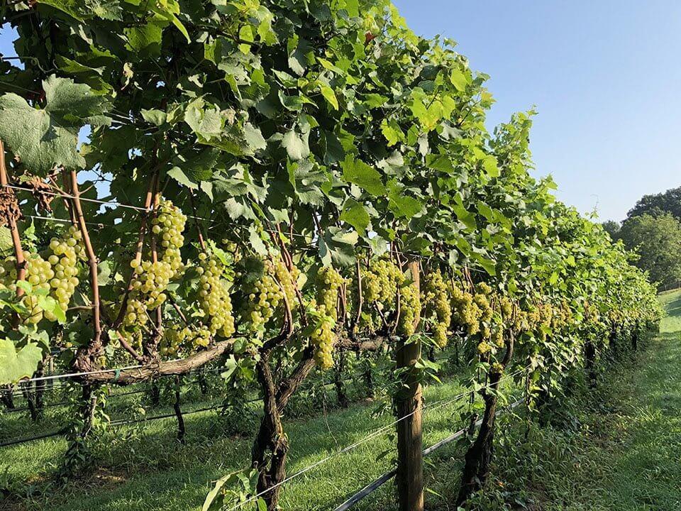Arterra Winemaking Fauquier Virginia Wine - the vineyard